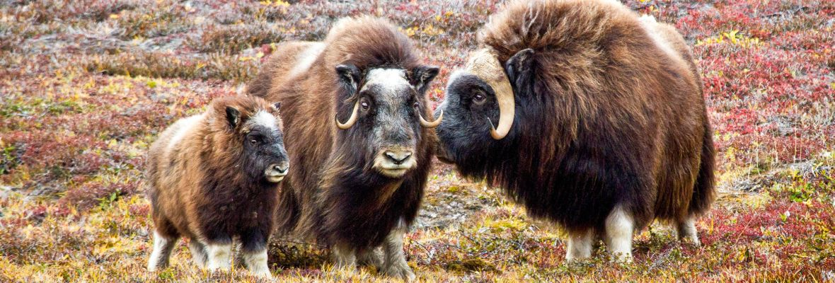 Muskoxen, photographed on Ymer island (Northeast Greenland)