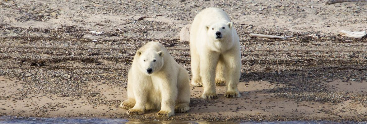Polar bears spotted at Ella island, Northeast Greenland National Park