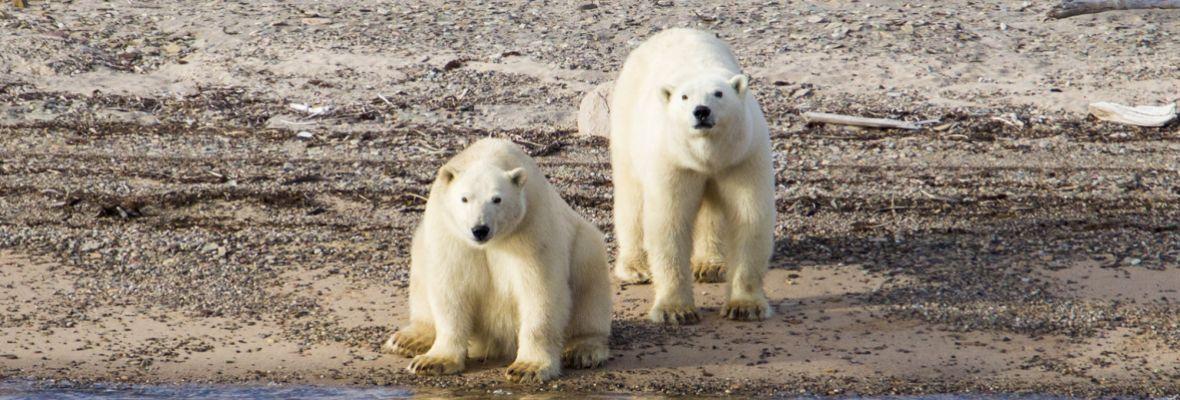 Polar bears (Ella Island)