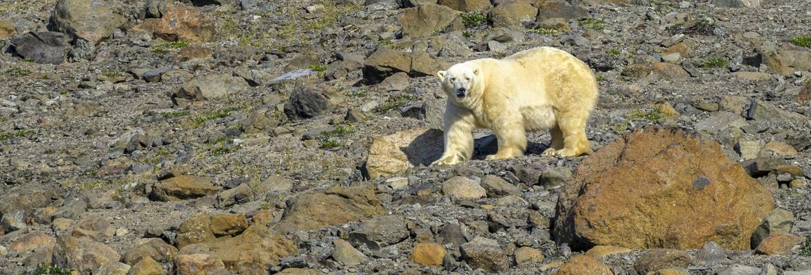 Polar bear in Northeast Greenland