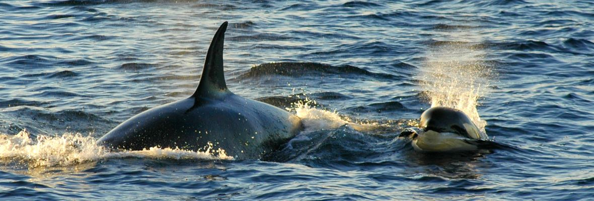 Orca's along the coast of East Greenland