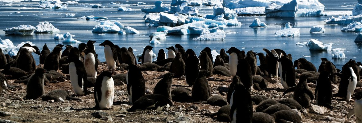 Large populations of Adélie penguins are found in the waters we explore