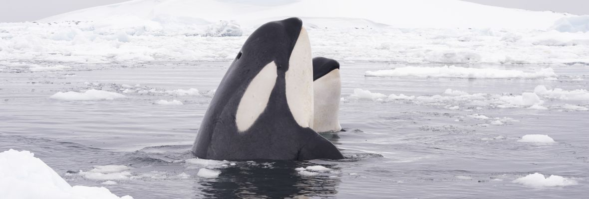 Orcas are known to hunt in the waters we will visit