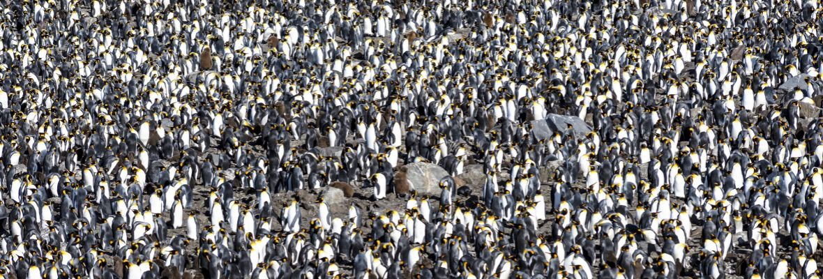 Colony of king penguins (South Georgia)