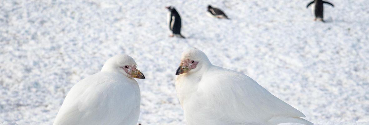 Snowy sheathbills