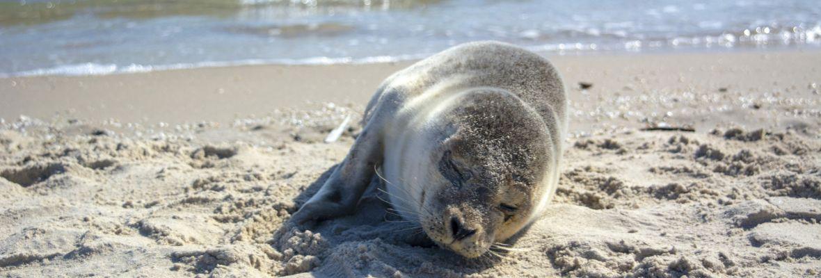 Seals are known to hunt around Grenen in Skagen