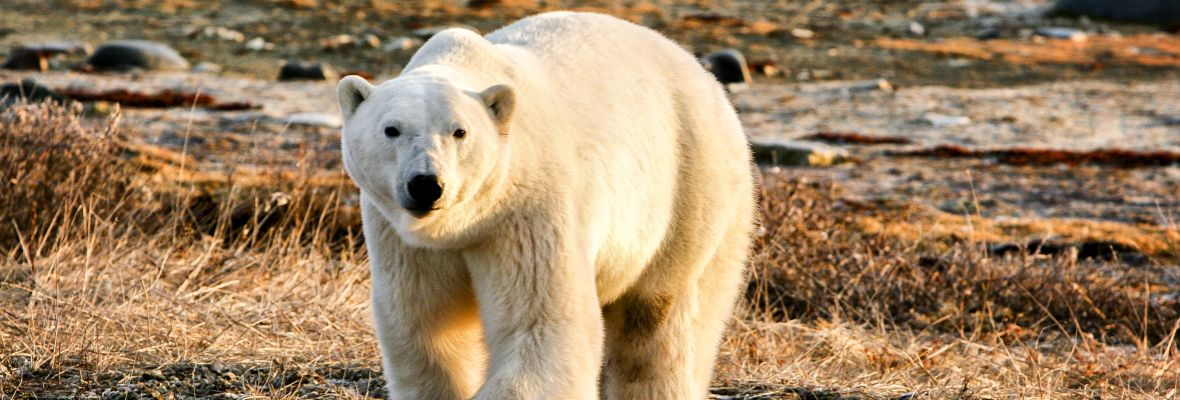 We are always on the lookout for the enigmatic polar bear