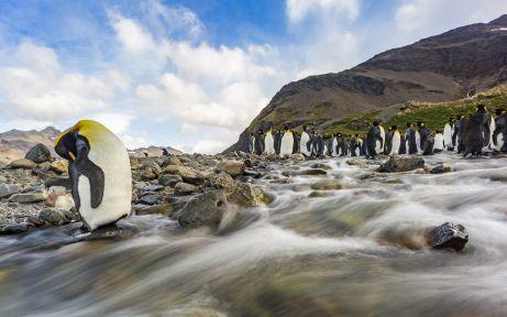 King penguins South Georgia islands
